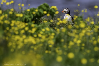 Puffins and buttercups