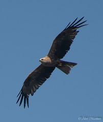 En busca de una presa (aberu1963) Tags: robledo nikonistas asturias nikonistasasturias fauna nikonistasspain ©abelmartínez d810 aves nikon comarcadelnora principadodeasturias españa es