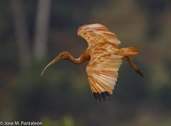 4-LIFER-Esta especie se encuentra en tierras bajas del valle bajo del río Magdalena y al oriente de los Andes. Su nombre deriva del griego eudokimos que significa glorioso, mientras que el epíteto ruber hace referencia a su coloración roja (Cimarrón Mayor 14,000.000. VISITAS GRACIAS) Tags: ordenpelecaniformes familiathreskiornithidae subfamiliathreskionithinae géneroeudocimus corocora corocororojo ibiscolorada ibisescarlata ibisrosado cocorojo nombrecientificoeudocimusruber nombreinglesscarletibis lugardecapturaflorencia caquetá colombia ave vogel bird oiseau paxaro fugl pássaro птица fågel uccello pták vták txori lintu aderyn éan madár cimarrónmayor panta pantaleón josémiguelpantaleón objetivo500mm telefoto700mm 7dmarkii canoneos canoneos7dmarkii naturaleza libertad libertee libre free fauna dominicano pájaro montañas