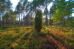 The forest (RdeUppsala) Tags: sverige suecia sweden skog bosque forest árboles trees träd summer sommar verano atardecer kväll evening öland isla island paisaje landscape landskap light luz ljus ricardofeinstein naturaleza nature natur juniper en