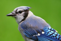 A6304760 (mbisgrove) Tags: wing bluejay canadian bisgrove a6300 bird blue sel100400gm sony feather feathers jay