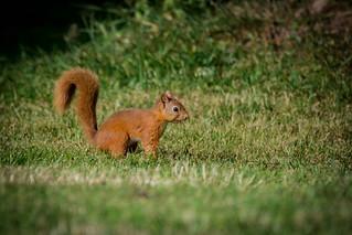 Rode eekhoorn - Eurasian red squirrel (Sciurus vulgaris), Galloway, Scotland
