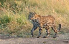 Male Leopard Cub - Panthera Pardus (rosebudl1959) Tags: 2018 kenya masaimara zebraplains sonofkaboso maleleopard