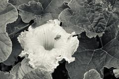 Pumpkin flower (citrusjig) Tags: fujifilm xt1 helios44258mmf2 flowers blackandwhite toned
