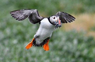 Atlantic Puffin - express delivery