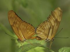 butterfly 10 (norbert.wegner) Tags: