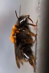 **Way Up** (**klaracolor**) Tags: akkerhommel bombuspascuorum hommel bumblebee fieldbumblebee insect vliesvleugeligen hymenoptera nonwovenwings fauna macro klara klarathomas klaracolor canoneos7d 100mm