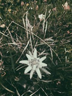 stailalva alpina (Leontopodium alpinum)