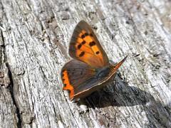 Garden safari, Kleine vuurvlinder - Lycaena phlaeas (Alta alatis patent) Tags: kleinevuurvlinder lycaenaphlaeas butterfly garden