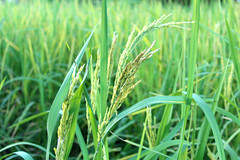 green rice plant during flowering (www.icon0.com) Tags: agriculture asia asian bali cerealchina close closeup country countryside crop cultivate cultivation culture detail earth fall farm farmland field flora foliage food grain grass green grow harvest hay idyllic laos leaves macro malaysia meadow nature nobody outdoors paddy plant plantation rice ripe season seed square staple taiwan thailand up