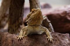 Hello! (picsessionphotoarts) Tags: echse echsen lizard schuppenkriechtiere bartagame afsnikkor28300mmf3556gedvr nikon nikond750 nikonfotografie nikonphotography zoo atthezoo wilhelma stuttgart reptilien terrarium tropenhaus reptiles amphibians wilhelmastuttgart