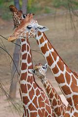 EOS 6D Mark II_1833 (Dave Melling) Tags: zoo reticulatedgiraffe brno somaligiraffe giraffacamelopardalisreticulata giraffe