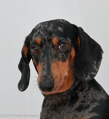 """Birthday Girl"" Jetje is today 2 years old. (Fred / Canon 70D) Tags: jetje birthday eefde teckel dachshund brindleminiaturedachshund getijgerdedwergteckel hond canon canon70d canoneos ef50mmf14usm dapple"