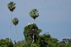 Большая белая цапля, Ardea alba egretta, Western Great Egret (Oleg Nomad) Tags: большаябелаяцапля ardeaalbaegretta westerngreategret