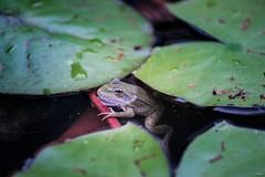 La Reine des Nénuphars (TristanLohengrin) Tags: macro grenouille frog animal nature amphibien nenuphar aquatique photographie photography nikon d5300 natural water mare