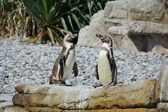 Humboldt Penguin (Spheniscus humboldti) (Seventh Heaven Photography) Tags: humboldt penguin spheniscus humboldti spheniscushumboldti bird aves chester zoo cheshire nikond3200