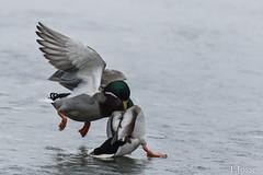 20180303_Vincennes_Canard colvert-2 (thadeus72) Tags: anasplatyrhynchos anatidae anatidés ansériformes aves birds canardcolvert mallard oiseaux