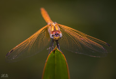 D75_3900-2 (@sumitdhuper) Tags: wallshare beauty dragonfly colors macro nature insect wildlife