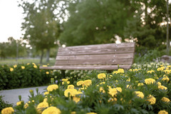 To Sit Among the Marigolds Pt. II (Miss Marisa Renee) Tags: marisarenee digital canon canon5dmarkii summer summer2018 2018 july park communitypark broomfield colorado green trees bench flowers marigolds yellow series photoseries twoparts twopart diptych bokeh shallow shallowdepthoffield soft softfocus sunlight sunlightthroughtrees dreamy beautiful floral mywork garden