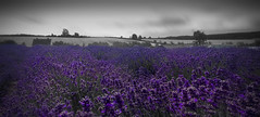 scented fields of purple (5imon87) Tags: flowers flower nature outdoors smell scent smelly purple colour samsung cotswolds pretty beautiful field landscape