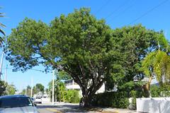 Key West (Florida) Trip 2017 7980Ri 4x6 (edgarandron - Busy!) Tags: florida keys floridakeys keywest houses neighborhood plants tree trees