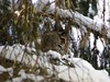 IMG_2767 (Jamakasi) Tags: forest winter snow bird hazelgrouse