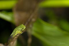 False malabar gliding frog (AkDExplorer) Tags: westernghats criticallyendangered india kerala munnar rare endemic gliding frog froglet stripes monsoon nikon d850 tamron 90mm macro green