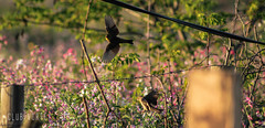 Urban (Club Vortex) Tags: animal aves avesdechile art animales animals nature naturaleza wild wildlife quillota quintaregion chile canon canont5 chilean life bird birds lake chincol gorrión pelicano perro dog swallow golondrina