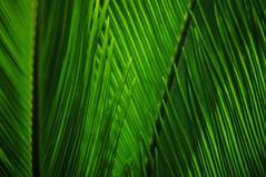 Im Schatten der Zweige - In The Realm Of Shades (Bernd Kretzer) Tags: blätter leafes palme palm tree makinon mc reflex 300mm 156 spiegellinsenobjektiv spiegelreflexobjektiv mirrorlens catadioptric katadioptrisch