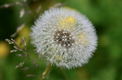 Dandelion (LynG67) Tags: castlefraser dandelion seeds green white yellow