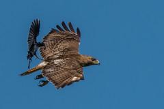 Hitching a ride NOT! (Kevin Fox D500) Tags: redtailedhawk flight flying crow attack bird birding birdwatching birds nature nikond500 nikon sigma150600sport sigma pennsylvania peacevalley