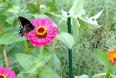 Black swallowtail meets Magenta Zinnia DSC_1309-2 (LarryJ47) Tags: nikon d40 70300mm black swallowtail flower color green leaves