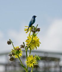 cool bird (Mark.Swanson) Tags: dixonwaterfowlrefuge hennepin illinois putnamcounty bunting indigobunting compassplant prairie