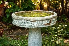Bees Drinking Water 5 (LongInt57) Tags: bee insect bug water birdbath drinking garden yard outdoor green grey gray blue yellow black nature kelowna bc canada okanagan