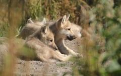 hudsonbay wolf Hoenderdaell JN6A7220 (j.a.kok) Tags: wolf wolfpup wittewolf whitewolf hudsonbaywolf canislupushudsonicus canine hoenderdaell hoenderdael animal canada amerika america mammal zoogdier dier predator