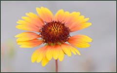 Summer Flowers (tdlucas5000) Tags: flowers wildflowers macro closeup bokeh creamybokeh california summer gaillardia orange yellow sigma105 d750