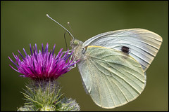 Large White Butterfly (John R Chandler) Tags: animal brandonmarsh butterfly insect largewhite pierisbrassicae unitedkingdom warwickshire warwickshirewildlifetrust coventry uk gb