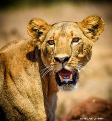 (khelan919) Tags: wildworld animals lioness natgeowild animalplanet wildlifephotography photography kenya nairobinationalpark wildlife lion