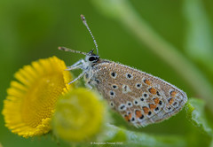 Bejewelled (frattonparker) Tags: btonner bokeh butterfly depthoffield farfalle isleofwight lightroom6 macro mariposa nikkor105mmafsmicrof28ged nikond810 papilon prime raw schmetterling summer frattonparker dew droplets water commonfleabane walterscopse newtown thebestyellow