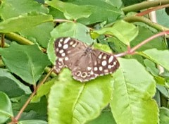Speckled Wood Butterfly (Audrey's photography) Tags: speckledwood butterfly brown green white leaves