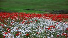 Poppies & Daisies (moniquerebanks) Tags: poppies daisies margrieten papavers klaprozen redwhite flowercarpet fieldofflowers veldbloemen outdoors colourful kleurrijk colorful horizon dof nikond7100 flowers bloemen blumen fiori petals