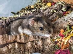 My little friend, Turbo! (citroenbxpower) Tags: turbo littlefriend animals hamsterlove hamsterscaping hamsterscape hamster photoshoot photography