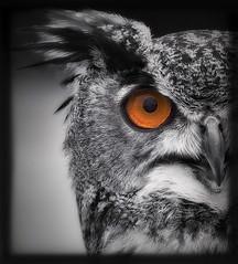 Uwe (t.schwarze) Tags: eagleowl uhu bird animal pentax predator raubvogel eule