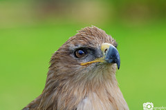 Tawny Eagle (Mike House Photography) Tags: bird prey falcon eagle hawk talons beak wings flying flight fly yellow green brown white eyes sharp meat eater tail tips conservation wildlife animal photography