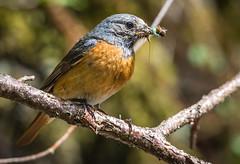 Female Redstart (Monkey-Prince) Tags: nikon 200500 d7200 redstart uk bird
