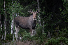 Moose (laurilehtophotography) Tags: wildlife moose nature sweden forest nikon d750 nikkor 200500mm awesome hirvi luonto summer 2018 night roadtrip