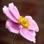 365.229 - Japanese Anemone thumbnail