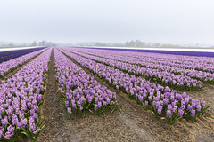 Farmland with flowering hyacinths (sandergroffen) Tags: agriculture april background bedding blossom bright bulbfields decoration dutch farm field flowers garden green holland hyacinths landscape leaf light nature netherlands noordwijkerhout plant purple season spring straw tourism travel beautiful blooming bulb color colorful flora floral floralpatterns flower flowerbulbs flowerpattern hyacinthgarden hyacinthus keukenhof lisse pink rural seasonal springtime white