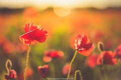 Poppies . . . . . . . . [ 103 in Explore ] (frattonparker) Tags: btonner bokeh contrejour depthoffield flowersplants isleofwight lightroom6 nikkor50mmf14gafs nikond810 prime raw summer wildflower frattonparker poppy poppies coquelicot papaver pavot