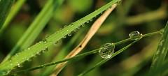 Precious pearls !!! (Ezhil Ramalingam) Tags: drops dewdrops refraction senganatham hills green
